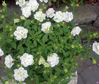 明石公園に咲く6月の花13.jpg